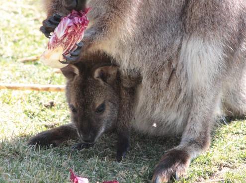 6 luglio: Salta con i Wallaby!