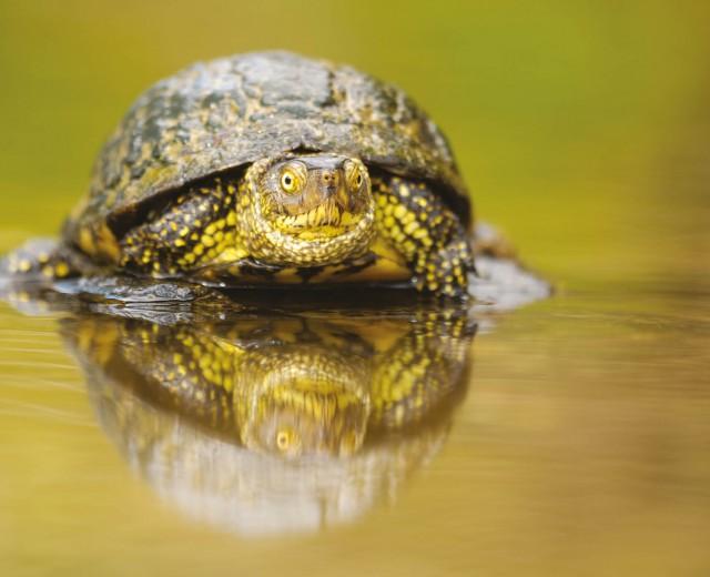 Le tartarughe palustri